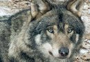 Innocent wolves cleared by DNA