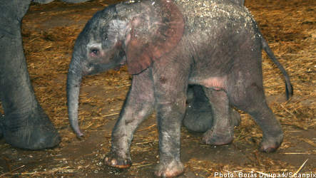 Sweden sees birth of first male baby elephant