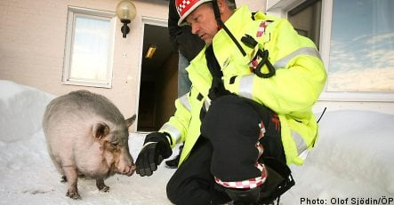 Miniature pig saves its bacon in apartment fire