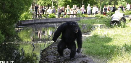 Swedish chimp's attacks show primate planning prowess