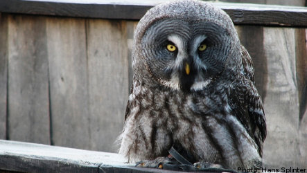 Rare owl convalescing in southern Sweden