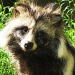 Swedish hunters to target marauding raccoon dogs