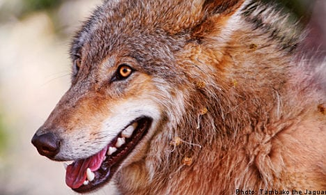 Council votes to keep wolves from the door