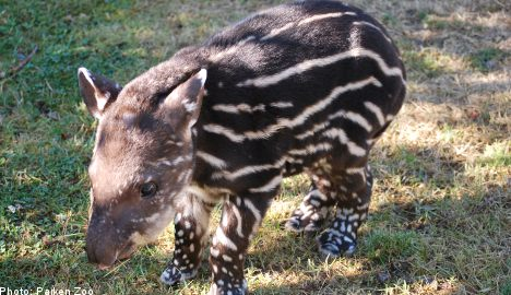 Two rare tapirs born in Sweden in one week