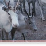 Reindeer 'cruelty' slammed by rights group