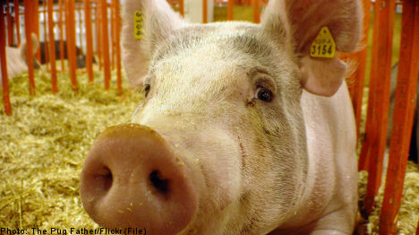 Sweden close to pig ear export deal with China