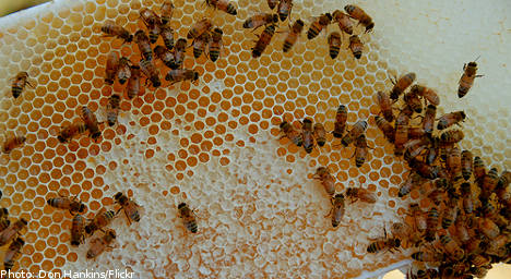 Deadly disease threatens Swedish bees