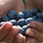 'Lazy' Romanian berry pickers in wage protest