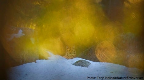 Nature snapper admits to pasting in lynx