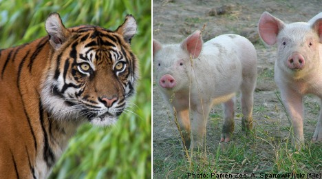 Zoo sponsor: 'the tiger ate my piglets'