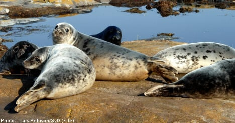 Expert: kill more seals in Stockholm's waters
