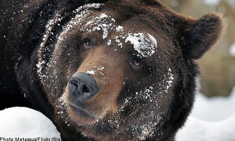 Bear set for Swedish zoo gets 'cold feet' and flees