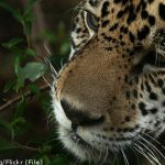 Zoo welcomes Sweden's first jaguars