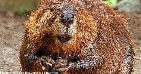Swedish beaver rescued after two days on rock