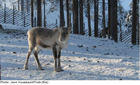 Baby reindeer starving in Swedish mountains