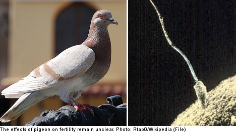 Eating pigeon to get pregnant in Sweden