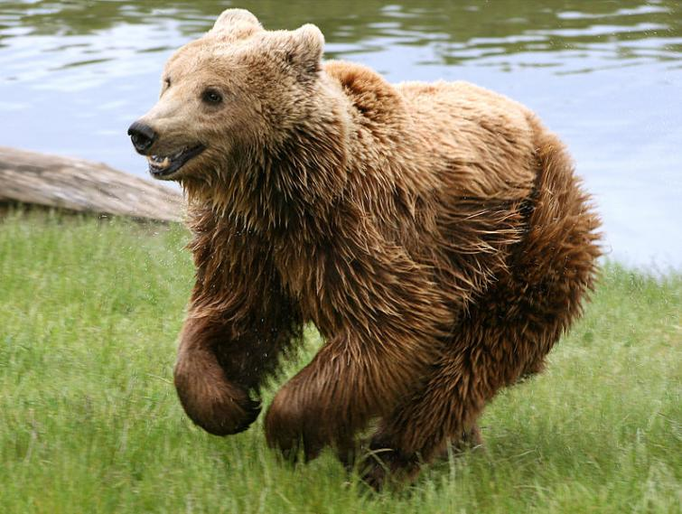 2. The brown bear - Björn - (Ursidae)<br>The brown bear, Sweden's biggest and perhaps most ferocious beast, comes in second on this list. While attacks are extremely rare, bears ARE known to attack in Sweden, especially when freshly woken from hibernation or when they feel their young are under threat. As cuddly as they appear, give all bears in Sweden a wide berth. Note: the word bear in Swedish is also a popular man's name, Björn. People called Björn aren't believed to be any more dangerous. Photo: Malene Thyssen/WikiCommons (file)