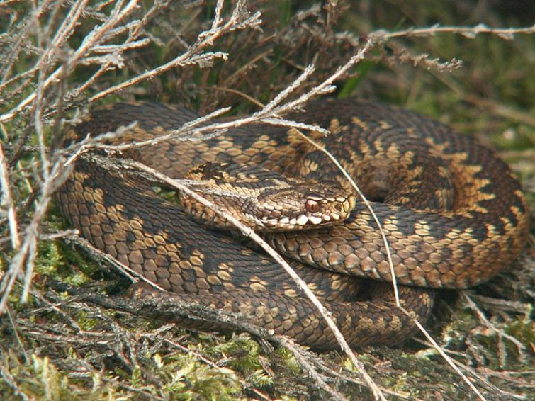 """6. The Common European Viper/Adder - Huggorm (Vipera berus)<br>OK, now we're getting somewhere, behold the common European Adder. Of the top fifty most dangerous snakes in the world, zero can be found in Sweden. The Adder, or viper, is the most dangerous snake of all in Sweden. This snake bites 1,300 people a year in Sweden, killing none, although their bite is said to sting """"rather a lot"""".  Photo: Piet Spaans/WikiCommons (file)"""