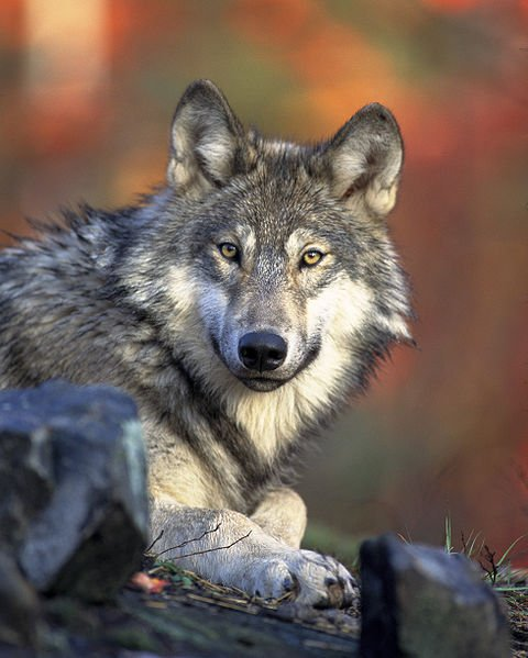 3. Wolf - Varg - (Canis lupus)<br>While Swedish wolves are unpredictable and potentially dangerous, they are actually quite shy. As the wolf population in Sweden dwindles, it has become more unlikely to even see one in this country, however they still take out the third position due to sheer capability. Luckily for Sweden, it has been almost 200 years since the last mass attack, where one wolf attacked and killed nine people in the 1820s.Photo: Gary Kramer/WikiCommons