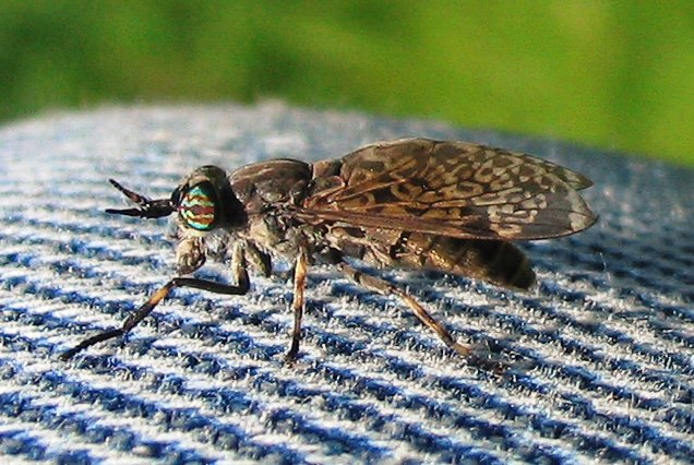 """7. Horse-fly - Broms -  (Tabanidae) <br>The horse-fly and the house fly are two different creatures – just ask anyone who's been bitten! According to Wikipedia, horse flies """"use their knife-like mandibles to rip and/or slice flesh apart"""". There are 45 different species of the fly in Sweden. Photo: Darkone/WikiCommons"""