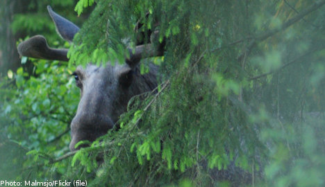 Elk at large – The Local's guide to spotting Sweden's iconic wildlife