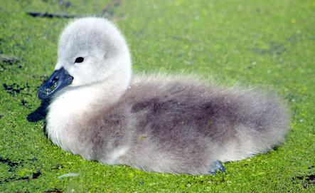 Ugly<br>When the Vikings felt like insulting one another, there's a fair chance they would use the word uggligr… stemming from the word ugga – to fear. If a Viking wasn't fearsome enough, an ugly one would have been enough to make you choke on your mead. Pictured is what may be considered to be an ugly duckling.Photo: Law_kevin/Flickr (file)