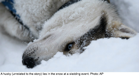 Swede loses her dog to wolf hunters