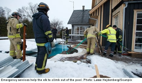 Elk rescued from Swede's swimming pool