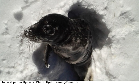 Seal pup found in the woods baffles police