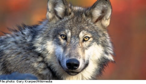 Swedish wolf hunt 'an abuse of science': expert