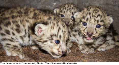 Snow leopard triplets are zoo's latest marvel