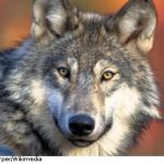 Wolf 'massacre' leaves over 20 sheep dead