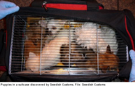 Puppy smuggling shows no signs of abating