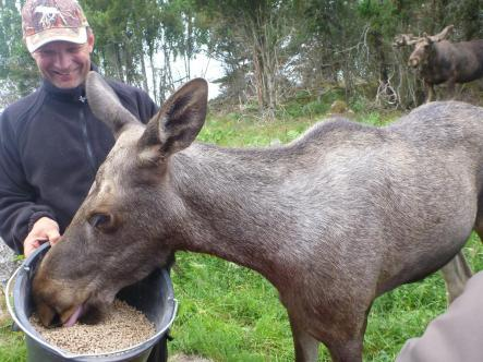 'Moose man' Leif Lindh feeds a young elkPhoto: Oliver Gee