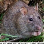 'Poison-proof' rats discovered in Sweden