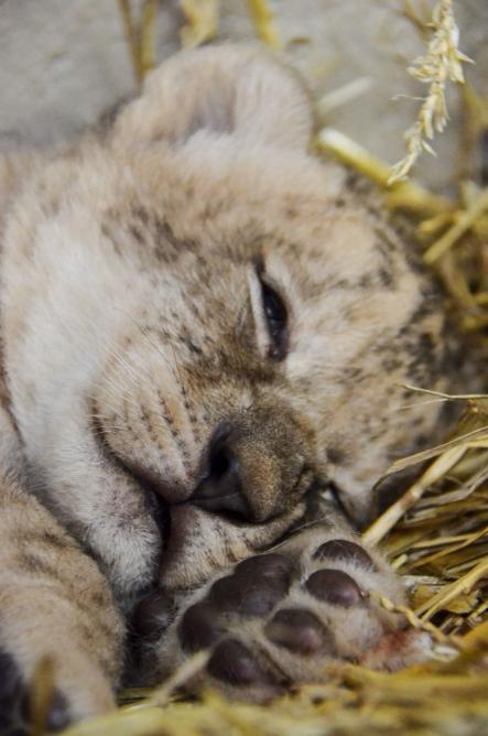 Beefy baby lions at Swedish zoo