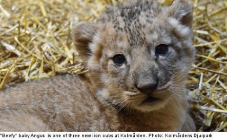 """<font size=""""5"""">'Beefy' lion cubs pride of zoo</font><br>Not feeling warm and fuzzy after that last story? You will. Three lion cubs born at a Swedish zoo win The Local's prize for cutest pictures of the week. <br> <a href=""""http://www.thelocal.se/50576/20131003/"""" target=""""_blank""""> Read about and see the beefy baby lions.</a>"""