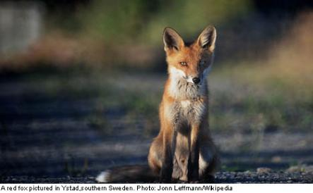 """<font size=""""5"""">Ingrid, 75, kills fox with bare hands</font><br>Meanwhile in Sundsvall, 75-year-old Ingrid fought to the death for her chickens when a thieving fox sauntered in. <br> <a href=""""http://www.thelocal.se/50774/20131014/"""" target=""""_blank""""> Read about the feisty fox-killer.</a>"""