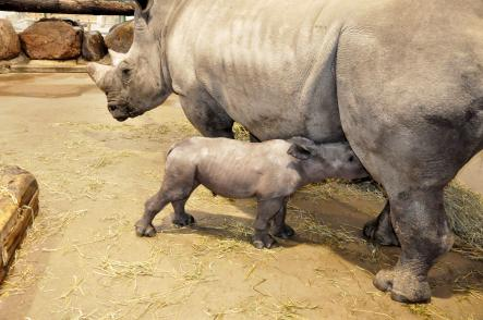 Visitors will be able to see the baby rhino from the end of October.Photo: Kolmårdens Djurpark