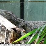 Police find crocodile in Swede's greenhouse