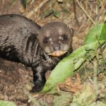 Swedish zoo hails first-ever giant otter birth