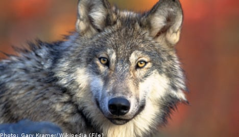 Court axes Sweden's annual wolf hunt again