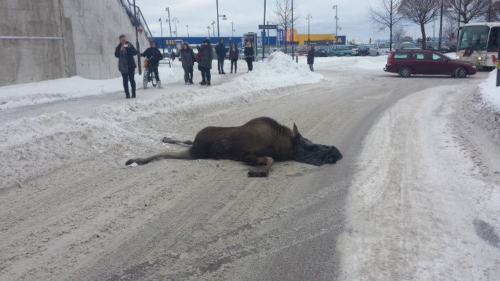 Elk leaps to its death near Ikea in Sweden (WARNING: GRAPHIC IMAGES)
