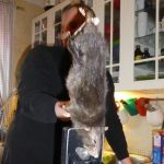 Swedes catch 40cm 'rat from hell' in their kitchen