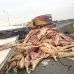 There were over 200 pigs in the truck at the time of the spill.Photo: Kicki Nilsson/TT