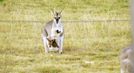 Wallaby returns home after Sweden walkabout
