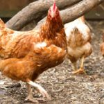 Eco-conscious Swedes in hen house trend