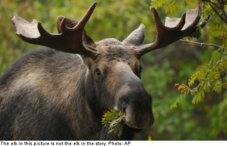 Swedish cops elect not to shoot 'angry elks'