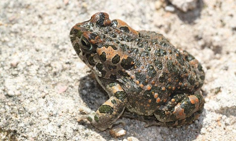 Malmö loses out as rare toads move in