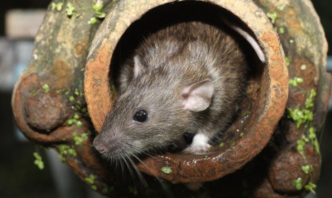 More rats creep into Sweden's cities